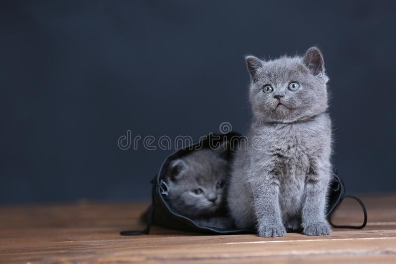 Kittens getting out of a leather bag. British Shorthair kittens in a black bag, isolated portrait, wooden floor royalty free stock images