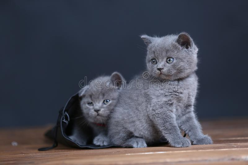 Kittens getting out of a leather bag. British Shorthair kittens in a black bag, isolated portrait, wooden floor stock photos