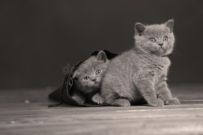 Kittens getting out of a leather bag. British Shorthair kittens in a black bag, isolated portrait, wooden floor royalty free stock photos