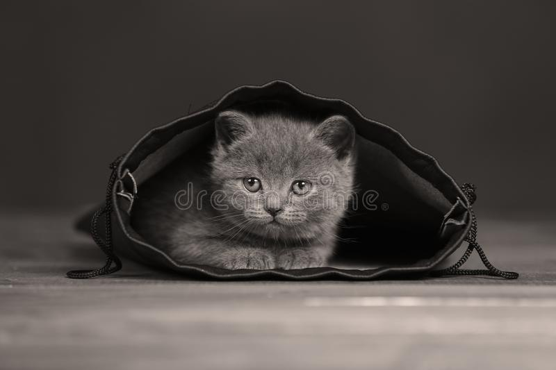 Kittens getting out of a leather bag. British Shorthair kittens in a black bag, isolated portrait, wooden floor stock images