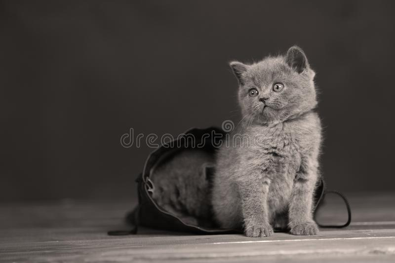 Kittens getting out of a leather bag. British Shorthair kittens in a black bag, portrait, wooden floor royalty free stock photo
