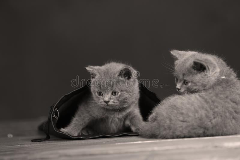 Kittens getting out of a leather bag. British Shorthair kittens in a black bag, portrait, wooden floor stock photos