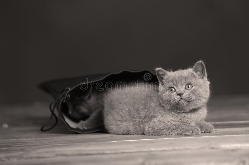 Kittens getting out of a leather bag. British Shorthair kittens in a black bag, portrait, wooden floor stock photography