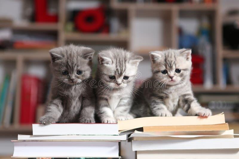 British Shorthair kittens and books. British Shorthair kittens sitting on some books, in the library stock photography