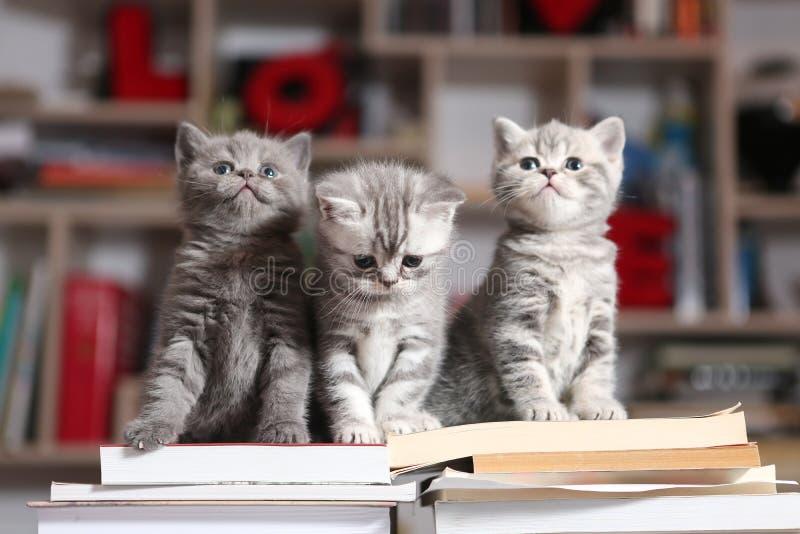 British Shorthair kittens and books. British Shorthair kittens sitting on some books, in the library royalty free stock photo