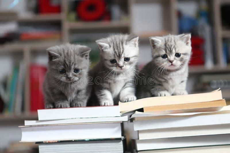 British Shorthair kittens and books. British Shorthair kittens sitting on some books, in the library stock photo