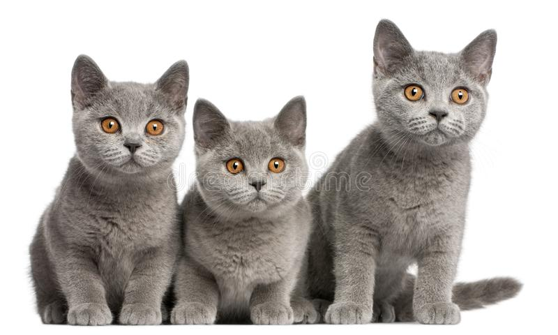 British Shorthair kittens, 3 months old royalty free stock photos