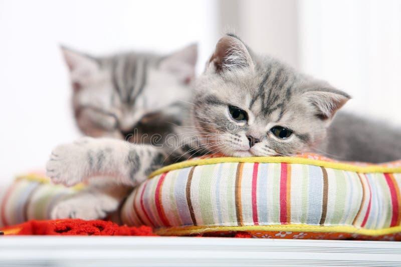 British shorthair kittens napping stock photo