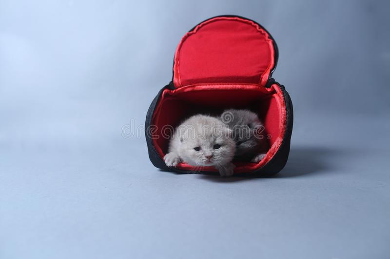 Kittens getting out of a photo camera bag. British Shorthair kittens sit in a photo camera bag, white background stock photography