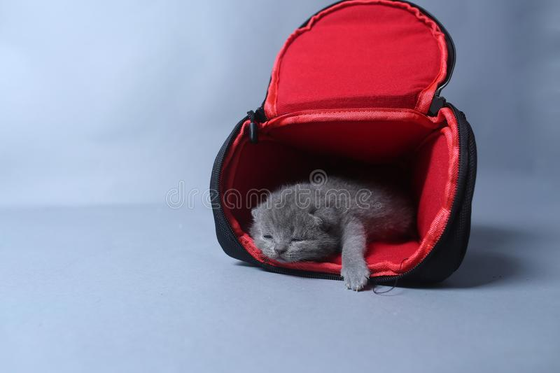 Kittens getting out of a photo camera bag. British Shorthair kittens sit in a photo camera bag, white background royalty free stock image