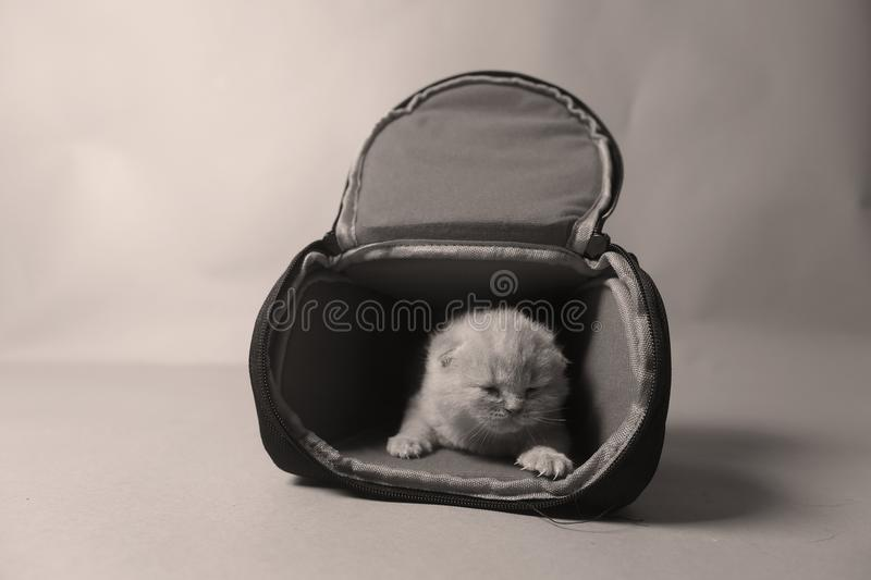 Kittens getting out of a photo camera bag. British Shorthair kittens sit in a photo camera bag, white background stock photos