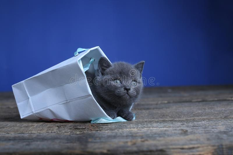 Kittens getting out of a bag. British Shorthair kittens sitting in a gift bag, wooden background stock photos