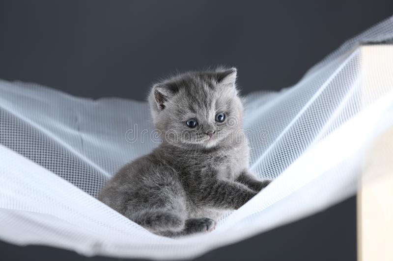 British Shorthair kittens on a white net, cute portrait stock image