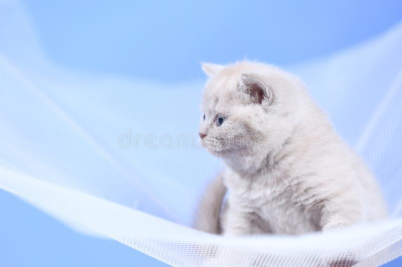 British Shorthair kittens on a white net, portrait stock image