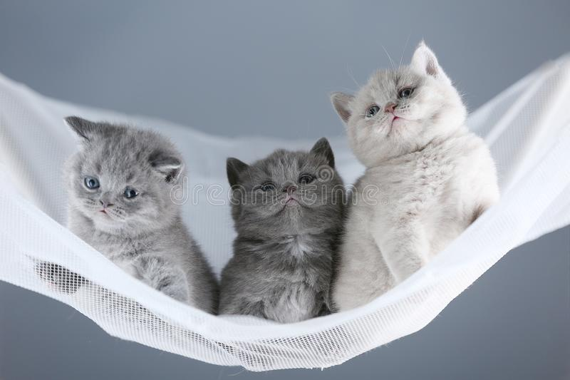 British Shorthair kittens on a white net, portrait. Adorable kittens, British Shorthair kittens sitting on a white net stock images