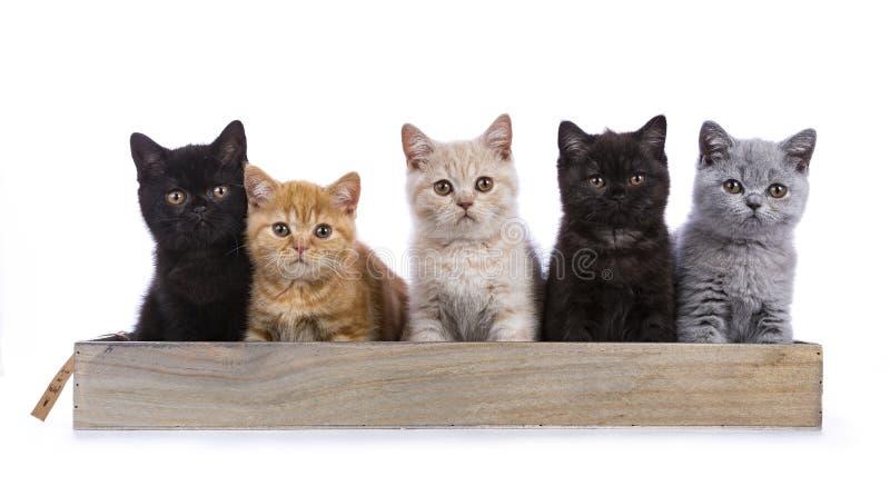 British Shorthair kittens on white royalty free stock image