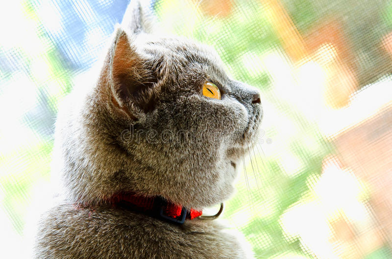 British Shorthair Lilac Cat portrait