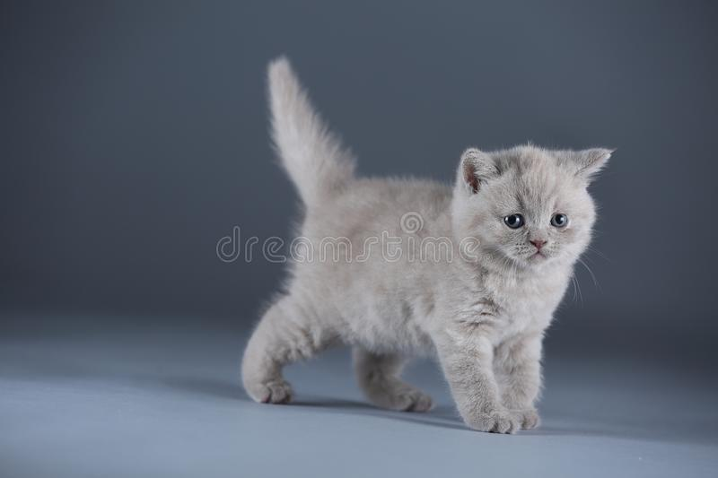 British Shorthair lilac kitten, isolated portrait on blue background. British Shorthair lilac kitten, isolated portrait, blue background royalty free stock image