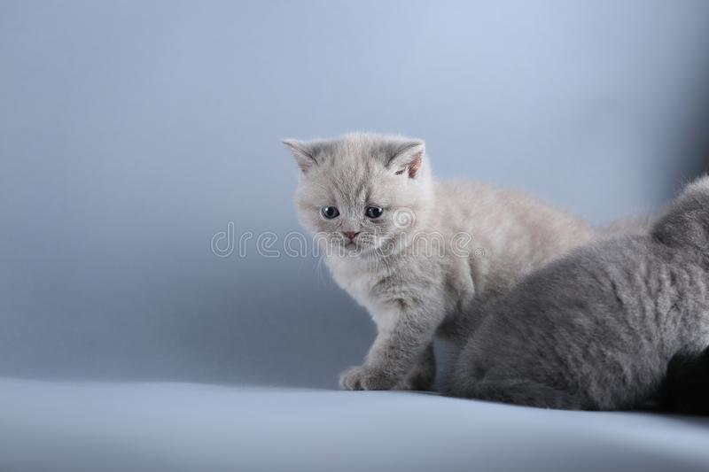 British Shorthair lilac kitten, isolated portrait on blue background. British Shorthair lilac kitten, isolated portrait, blue background stock photography