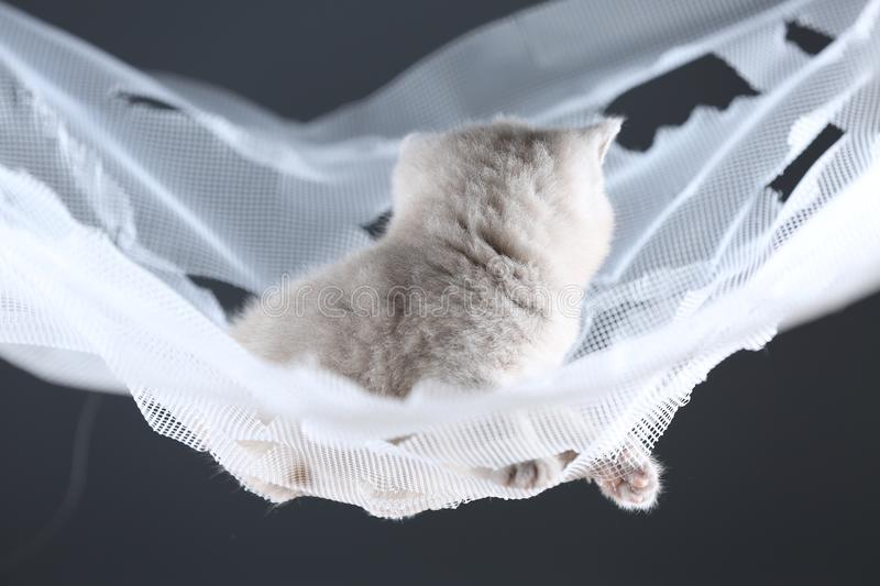 British Shorthair lilac kitten on a white net, portrait. Adorable kittens, British Shorthair kittens sitting on a white net stock image