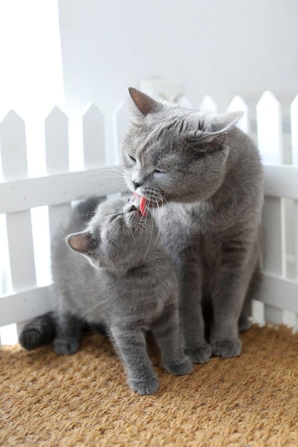 British Shorthair mam cat die haar kitten likt royalty-vrije stock foto