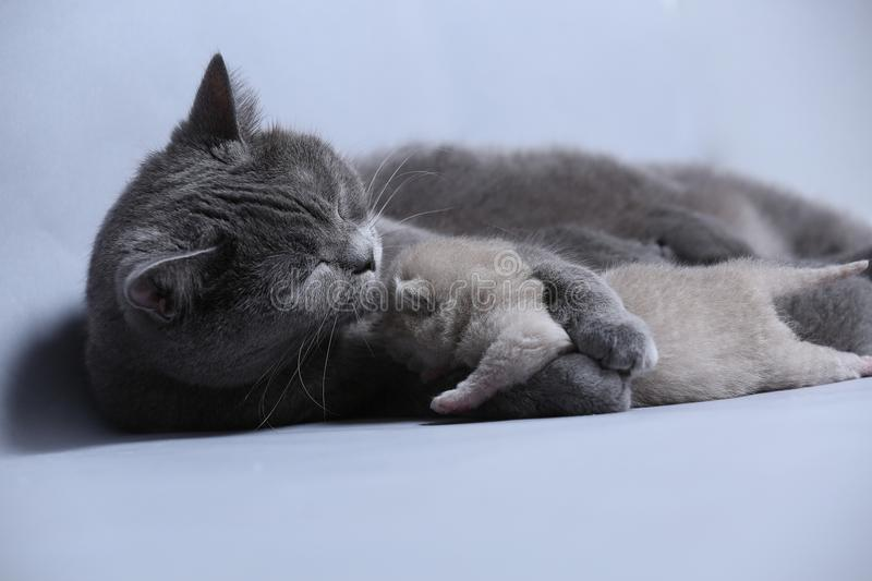 Cat takes care of kittens. British Shorthair mom cat hugs kitten royalty free stock images