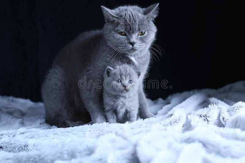 British Shorthair baby and his mother cat on blanket. Portrait. British Shorthair mom cat and kitten, black background copy space. Cute face stock images