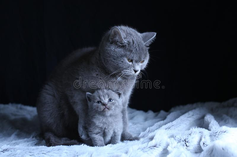 British Shorthair baby and his mother cat on blanket. Portrait. British Shorthair mom cat and kitten, black background copy space. Cute face royalty free stock images