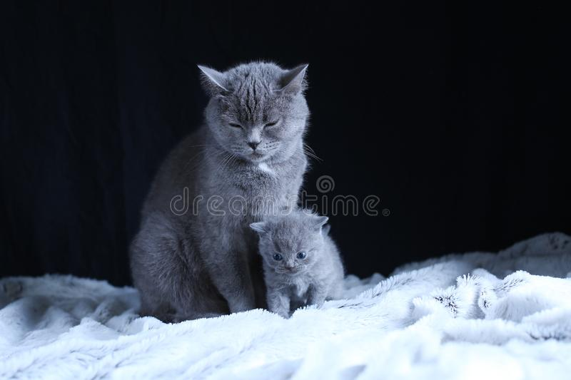 British Shorthair baby and his mother cat on blanket. Portrait. British Shorthair mom cat and kitten, black background copy space. Cute face stock photo