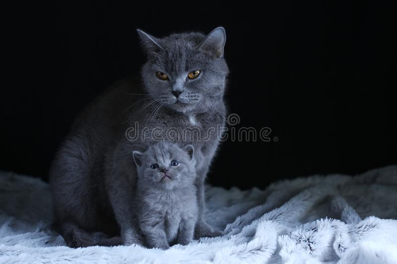 British Shorthair baby and his mother cat on blanket. Portrait. British Shorthair mom cat and kitten, black background copy space. Cute face stock photography