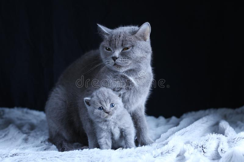British Shorthair baby and his mother cat on blanket. Portrait. British Shorthair mom cat and kitten, black background copy space. Cute face stock image
