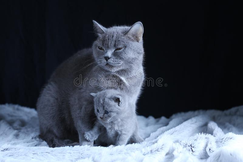 British Shorthair baby and his mother cat on blanket. British Shorthair mom cat and kitten, black background copy space. Cute face and fluffy paw stock image