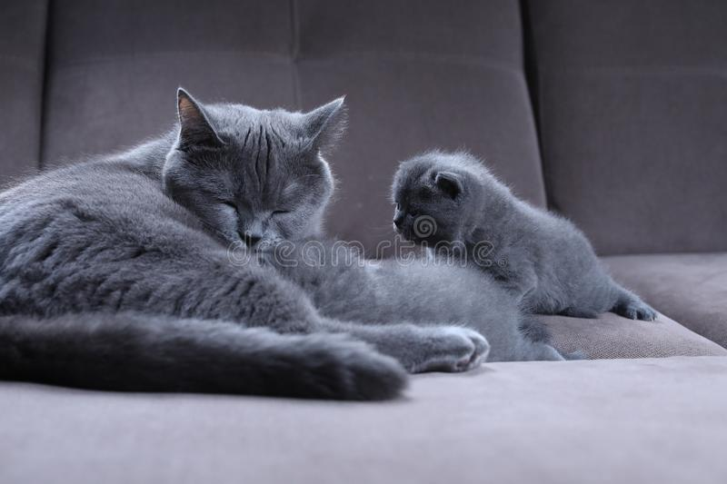 Cat taking care of her kittens on the couch stock photos