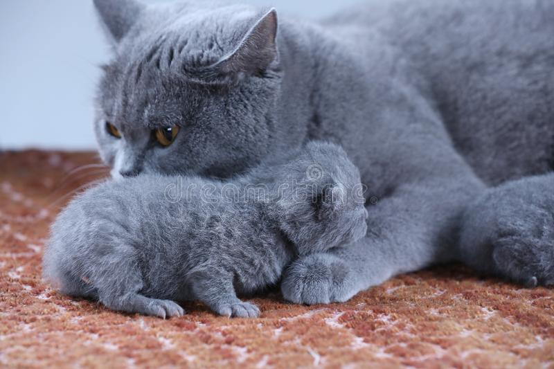 British Shorthair mom cat taking care of her babies royalty free stock image
