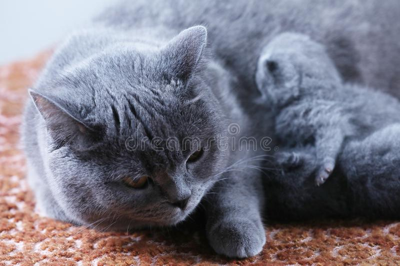 British Shorthair mom cat taking care of her babies stock image