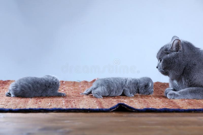 British Shorthair mom cat taking care of her babies stock photography