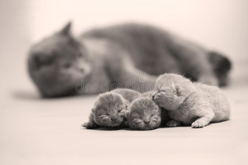 Cat takes care of kittens stock image