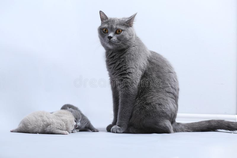 Cat takes care of kittens. British Shorthair mom cat taking care of kittens, white background stock photos