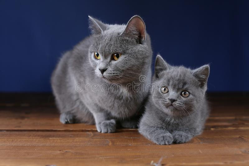 British Shorthair mother cat and her kitten, isolated portrait. Mom cat and kitten isolated portrait on a wooden floor royalty free stock image