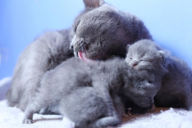 British Shorthair mother cat taking care of her new born kittens. One day old, blue background royalty free stock photos