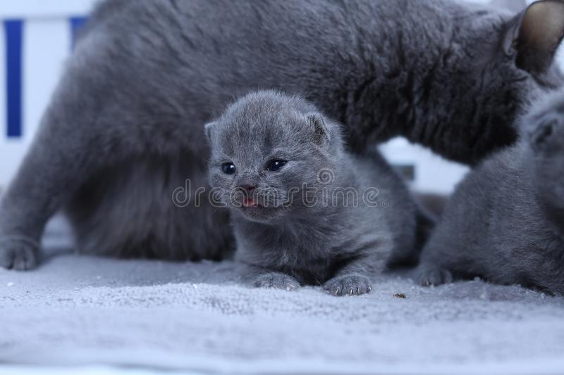 British Shorthair mother cat taking care of her new born kittens. One day old, blue background stock photography