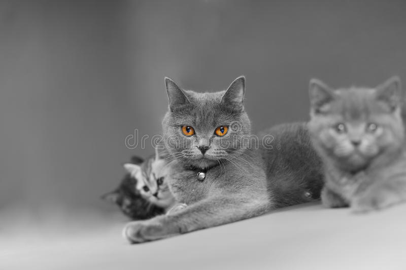 British Shorthair mother with her baby royalty free stock photo