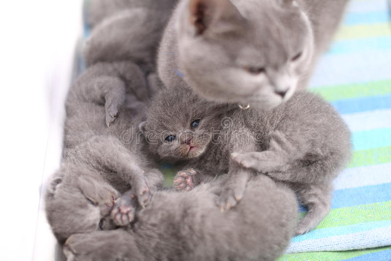 British Shorthair mother taking care of her babies, portrait from above stock photos