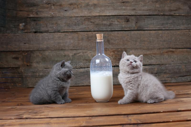 British Shorthair new born kittens near a bottle of milk. Wooden background, isolated portrait stock photography