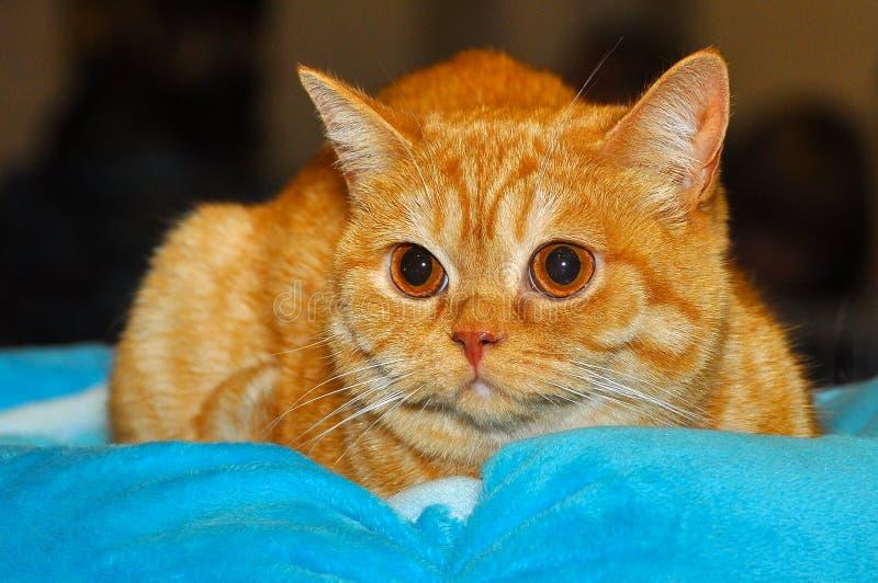 British shorthair red kitten cat stock photo