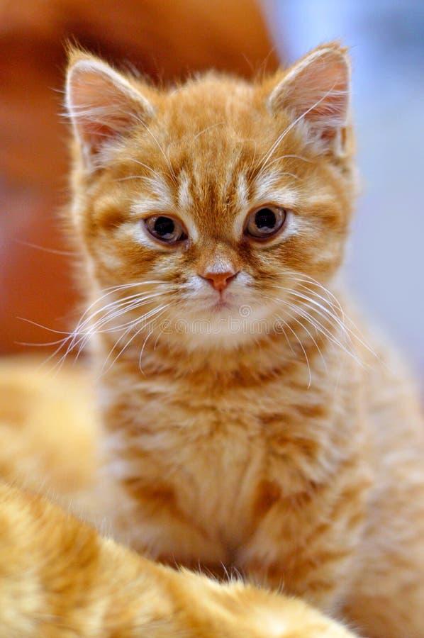 British shorthair red kitten stock image