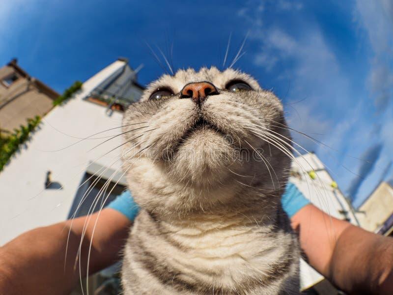 British Shorthair selfie. British Shorthair self portrait on balcony stock images