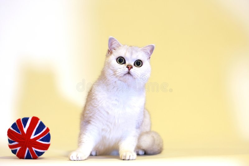 British Shorthair Silver Shaded Cat Royalty Free Stock Image