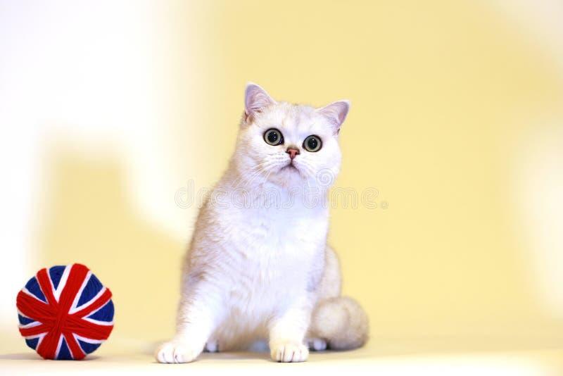 British Shorthair silver shaded cat. Looking at the camera royalty free stock image