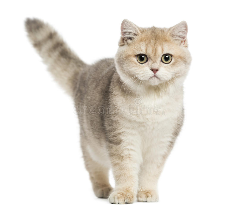 British shorthair standing, looking at the camera, royalty free stock images
